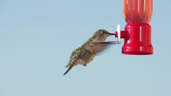 Thumbnail for Hummingbird Feeding Slow Motion.