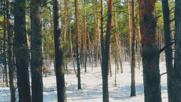 Thumbnail for Exciting Dense Pine Forest Trees in White Snow Hide Road