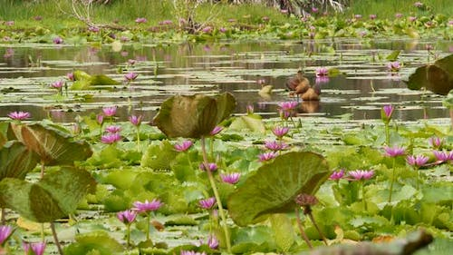 Ducks on Lake with Water Lilies, Pink Lotuses in Gloomy Water Reflecting Birds. Migratory Birds in