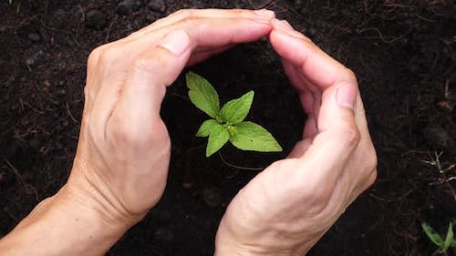 Hands Protect A Young Plant