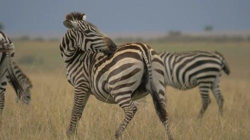 Zebra scratching