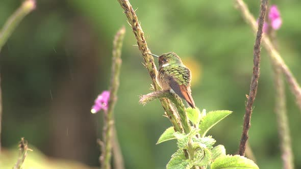 Scintillant Hummingbird Male Adult Lone Perched Flying in Costa Rica