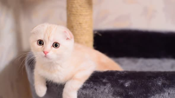 Thumbnail for Beige Kitten Scottish Fold Breed on Bed Near the Scratching Posts