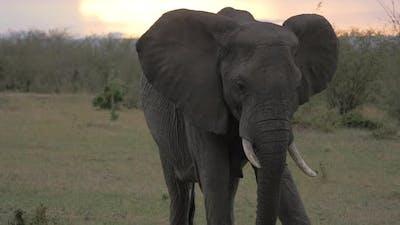 Elephant walking and eating