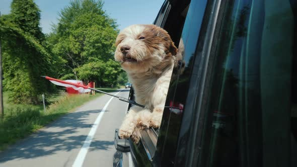 Thumbnail for A Dog with the Flag of Canada Looks Out of a Car Window Road Trip Canada