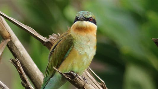 Cover Image for Blue Tailed Bee Eater Pack
