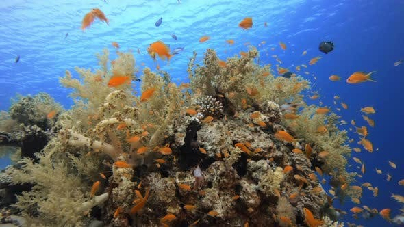 Thumbnail for Tropical Colorful Fish and Soft Coral
