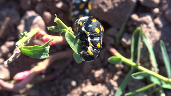 Thumbnail for Yellow Spotted Black Caterpillar Eating