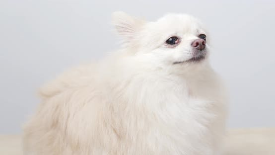 Thumbnail for White pomeranian dog lick