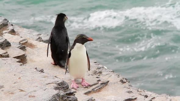 Cover Image for Rockhopper Penguin Falkland Islands