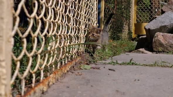 Thumbnail for Homeless Gray Kitten Is Walking Near the Fence on the Street. Slow Motion.
