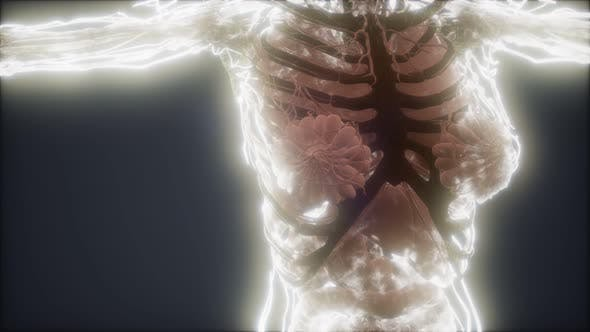 Thumbnail for Colorful Human Body Animation Showing Bones and Organs