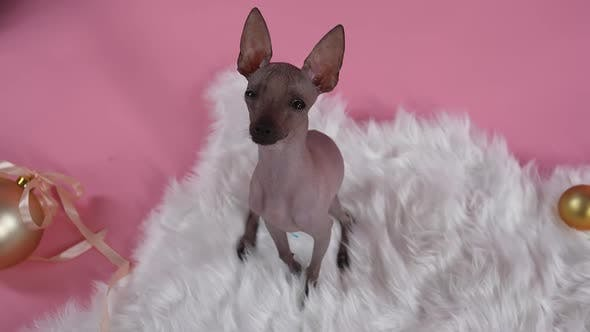 An Overhead View of the Xoloitzcuintle Looking Up at the Camera with His Head Up