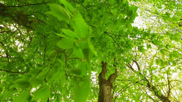 Leaves in Early Spring in Green