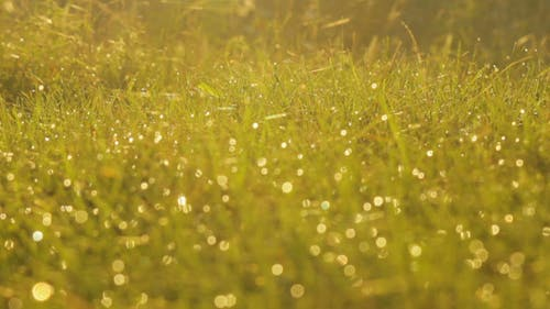 The Grass In Rays Of Dawn
