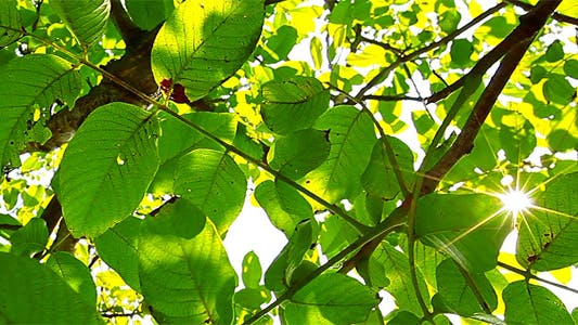 Thumbnail for Sunlight Through The Leaves 11