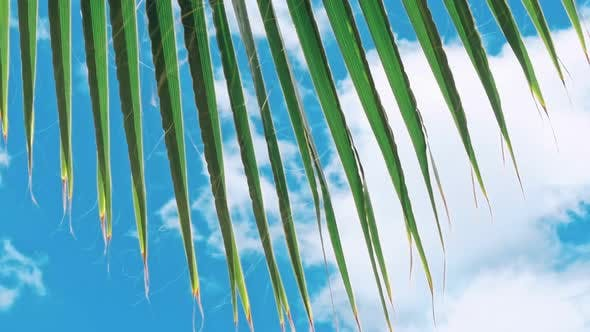 Thumbnail for Green Leaves of a Palm Tree and the Sun