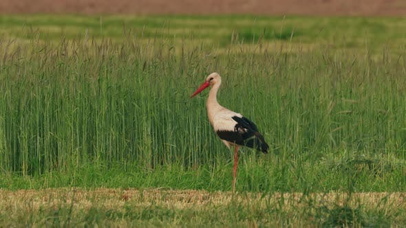 White Stork  Ciconia Ciconia In Summer Field Meadow