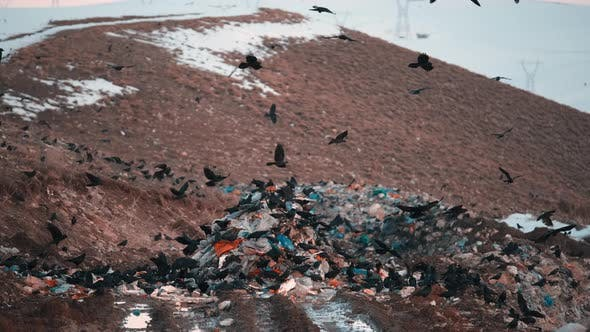Crows at Rubbish Dump