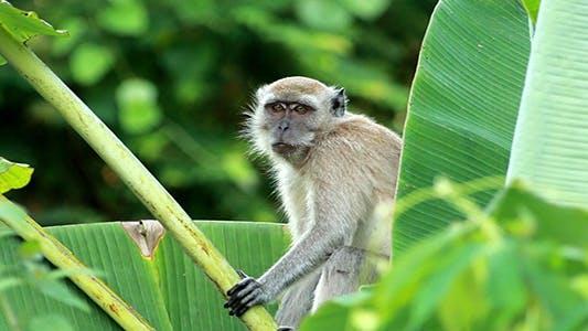 Thumbnail for Wild Monkey 01
