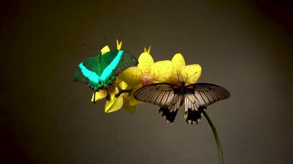 Thumbnail for Butterflies on Yellow Flower Orchid