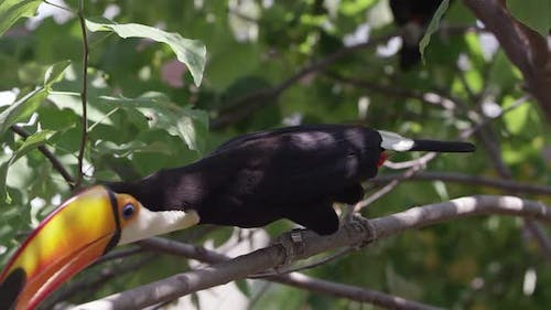 Toucan jumps on a branch reaching for food