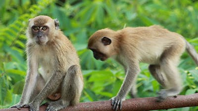 Wild Monkey 03