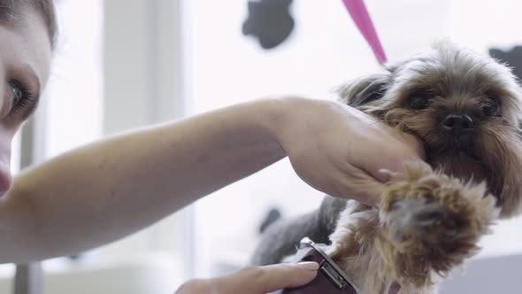 A Woman Professional Groomer Shears Wool on Dog with Electro Clipper. Adorable Domestic Pet.