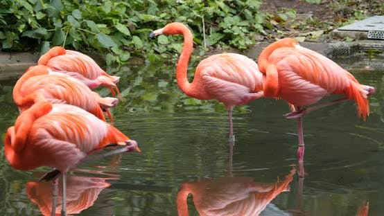 Thumbnail for Flamingo in pond