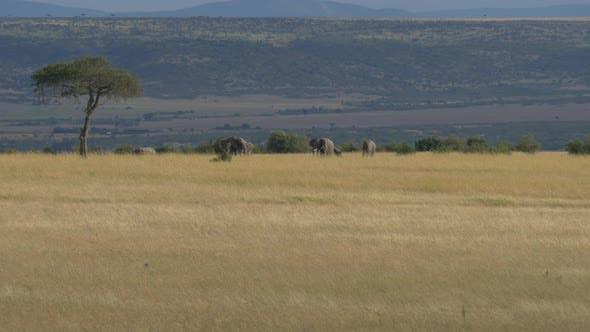 Thumbnail for Elephants on the savannah