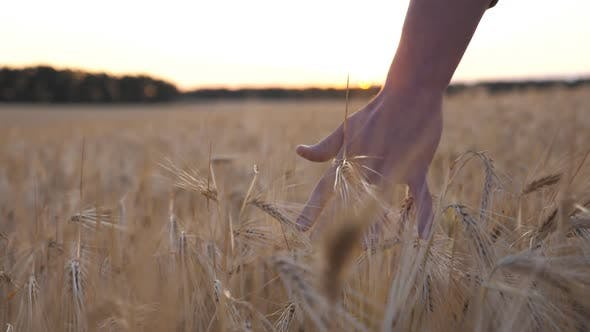 Thumbnail for Young Farmer Walks Through the Barley Field and Strokes with Arm Golden Ears of Crop. Male Hand of