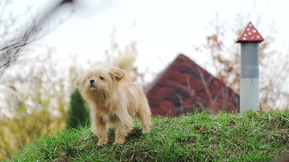 Thumbnail for A Small Dog, with Curly Hair, Light Brown, on the Green Grass, Which Barks