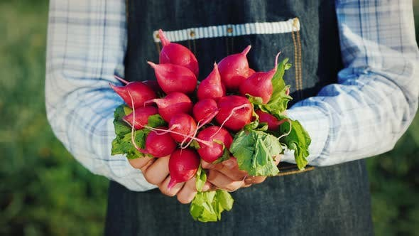 Thumbnail for A Farmer Holds a Bunch of Fresh Radish From His Garden