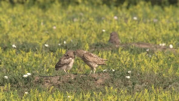 Thumbnail for Burrowing Owl Adult Chicks Young Several Grooming Cleaning in Summer