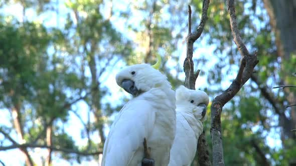 Thumbnail for Two cockatoos in the Dandenong ranges of Australia