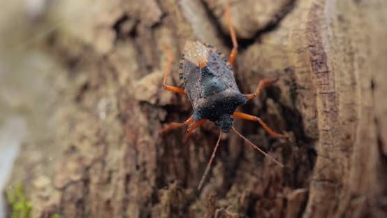 Forest Bug or Red-legged Shieldbug Pentatoma Rufipes Is a Species of Shield Bug
