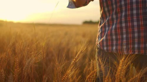 Close-up of a Man an Elderly Farmer Touching Wheat Spikelets or Tassels at Sunset in a Field in Slow