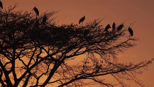A silhouette golden African sunset with birds and acacia tree. Africa.