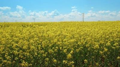 Beautiful Rapeseed Fields