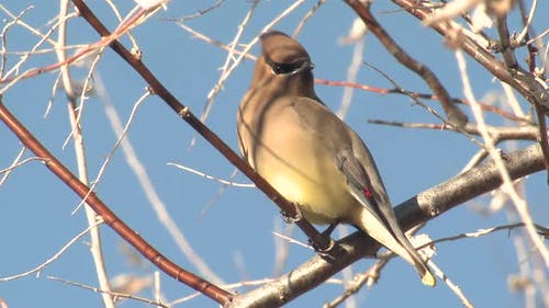 Cedar Waxwing Adult Lone Perched Looking Around in Wyoming