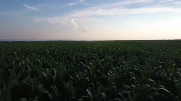 Thumbnail for Corn Field