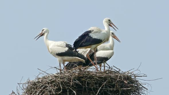 Thumbnail for Stork Family in the Nest