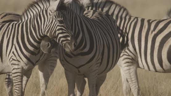 Zebras Interacting