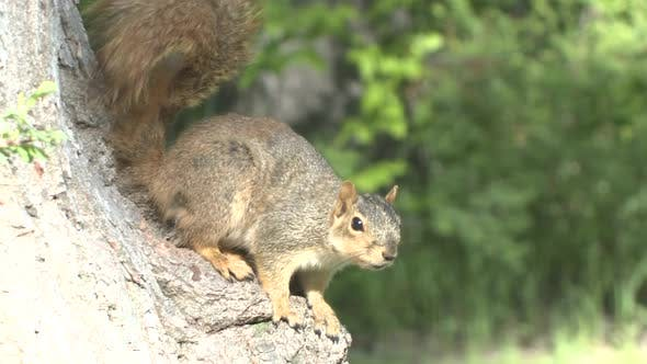 Thumbnail for Fox Squirrel Adult Lone Alarmed Nervous Wary in Spring in South Dakota