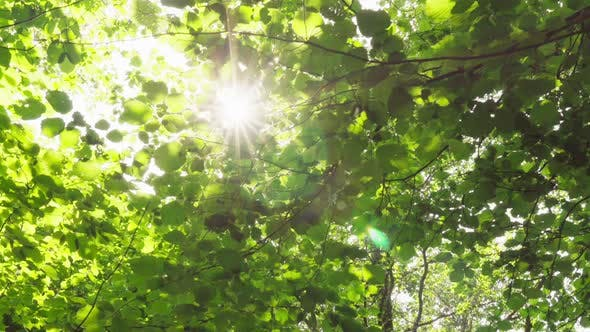 Sun's Rays Make Their Way Through Foliage of Trees in Summer Forest