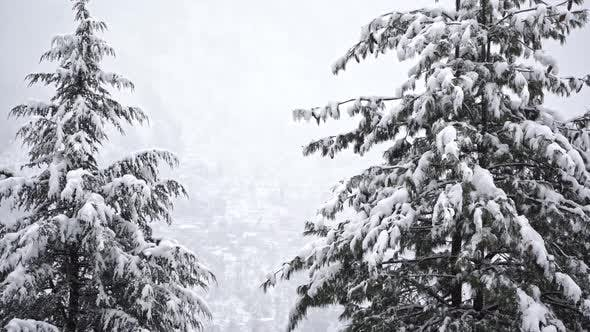 Tilt Shot of a Evergreen Tree Covered with Snow During Winters