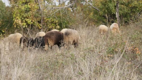 Thumbnail for Domesticated mammal Ovis aries in the field 4K 2160p 30fps UltraHD footage - Feeding and walking in