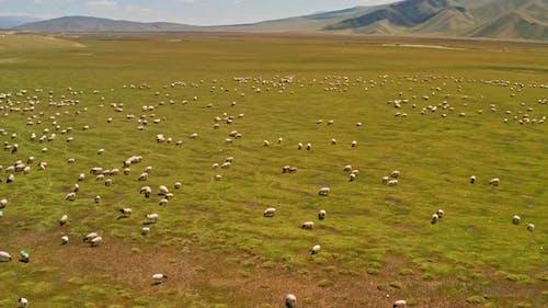 Grassland and sheep
