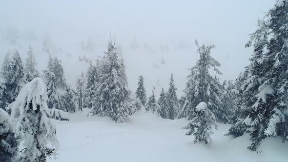 Snowy branches of beautiful thick tall tall fir