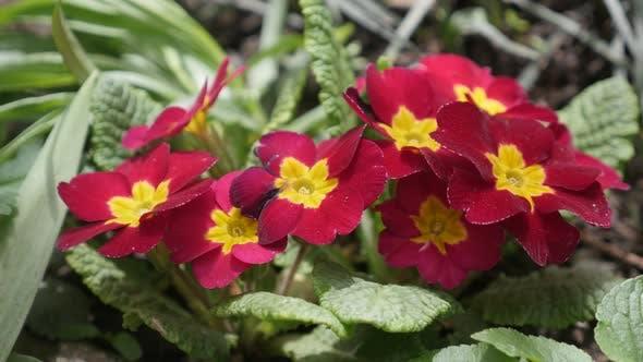 Thumbnail for Blossoming  primrose Primula acaulis flower 4K footage